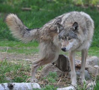Denali at the International Wolf Center doing an RLU